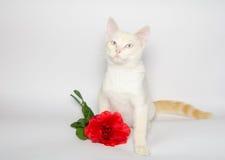 Chat romantique avec la rose de rouge Photographie stock libre de droits
