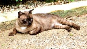 Chat rouan thaïlandais sur la rue Photographie stock