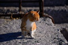 Chat rouge Photos libres de droits