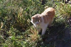Chat rouge Photo libre de droits