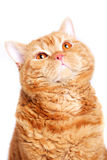 Chat rouge Images libres de droits