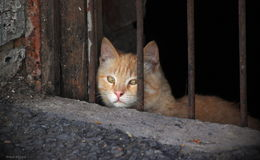 Chat rouge Images libres de droits