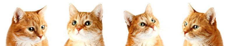 Chat rouge adulte d'isolement sur le fond blanc image stock