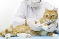 Chat rouge avec le bandage Images libres de droits