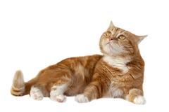 Chat rouge avec les yeux oranges Images stock