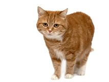 Chat rouge avec les yeux oranges Photographie stock libre de droits