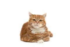Chat rouge avec les yeux oranges Photos libres de droits