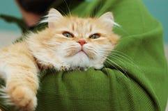 Chat rouge avec les yeux verts sur des mains de l'homme Image stock