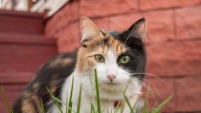Chat rouge blanc noir regardant par l'herbe Images libres de droits
