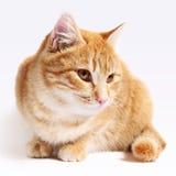 Chat rouge d'isolement sur le fond blanc Photographie stock libre de droits