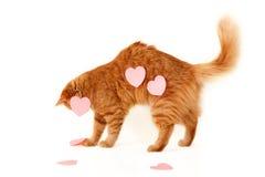 Chat rouge dans des valentines de coeur de l'amour Photo stock