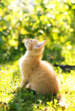 Chat rouge dans le jardin Photos stock