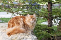 Chat rouge de Maine Coon sur des roches Photo stock