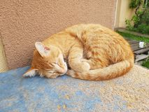 Chat rouge de sommeil Photos stock