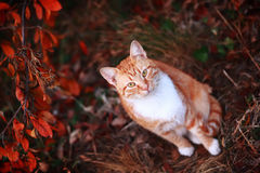Chat rouge domestique Photo stock