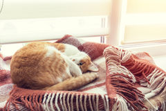 Chat rouge dormant dans la couverture chaude de plaid de laine Photo libre de droits