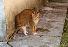 Chat rouge effrayé dans la cour Image stock