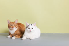 Chat rouge et blanc Images stock