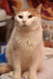 Chat rouge et blanc Photographie stock