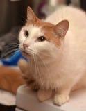 Chat rouge et blanc Image libre de droits