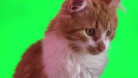 Chat rouge mignon banque de vidéos