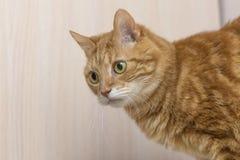 Chat rouge pelucheux avec le grand plan rapproché de yeux verts Images stock