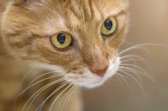 Chat rouge pelucheux avec le grand plan rapproché de yeux verts Image libre de droits
