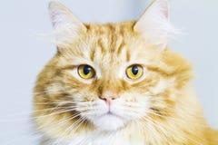 Chat rouge, race sibérienne aux cheveux longs Photos stock