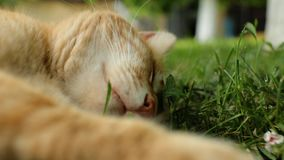 Chat rouge sans abri se trouvant sur l'herbe et dormant, museau de plan rapproché vid?o de 4 k banque de vidéos