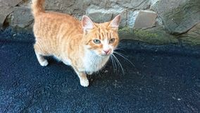Chat rouge sans abri sur le trottoir d'asphalte photo stock