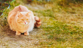 Chat rouge se reposant sur l'herbe verte de ressort Photo libre de droits