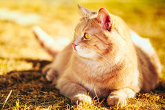 Chat rouge se reposant sur l'herbe verte de ressort Photos libres de droits