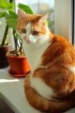 Chat rouge se reposant sur le filon-couche de fenêtre Photo libre de droits
