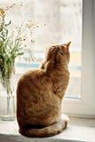 Chat rouge se reposant sur le rebord de fenêtre, regardant la fenêtre, après Photos stock