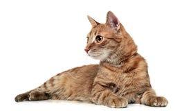 Chat rouge se trouvant sur le plancher de studio Photo libre de droits