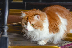 Chat rouge sur des ficelles de piano Photo stock