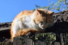 Chat rouge sur le toit Photographie stock