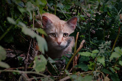 Chat rouge sur le vagabondage Photos stock