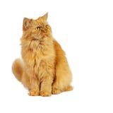 Chat rouge sur un fond blanc Photographie stock libre de droits