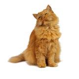 Chat rouge sur un fond blanc Photos libres de droits