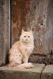 Chat rouge velu Images stock