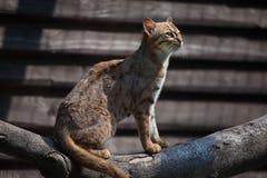 chat Rouillé-repéré et x28 ; Phillipsi& x29 de rubiginosus de Prionailurus ; photos stock