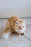Chat Rufous se trouvant sur le carreau de céramique Photographie stock