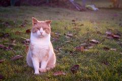 Chat rustique détendant dans le jardin énorme/semblant heureux (couleur à Photo libre de droits