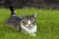 Chat s'étendant dans l'herbe. Photographie stock libre de droits