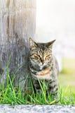 Chat sans abri de trois-couleur Image libre de droits