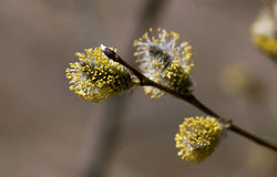 Chat-saule au printemps Photo stock