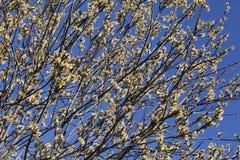 Chat-saule au printemps Images libres de droits
