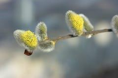 Chat-saules de floraison Photo libre de droits