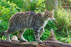 Chat sauvage écossais Image libre de droits